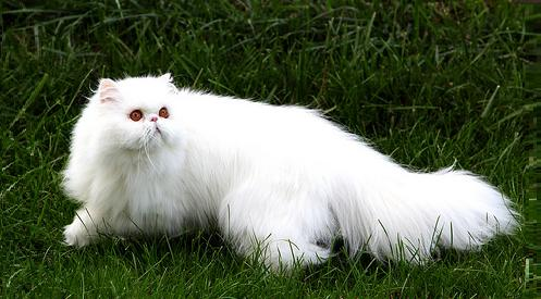 White cute Persian cat