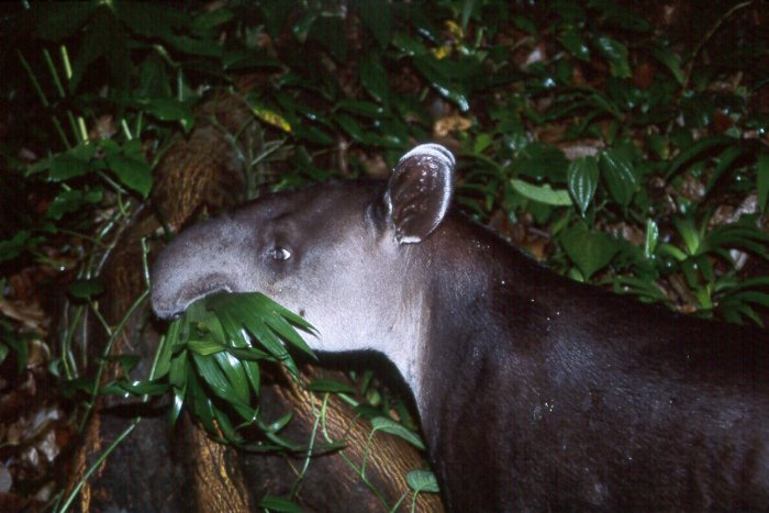A Baird's tapir eats leaves in Corcovado National Park