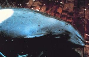Entangled Dall's Porpoise