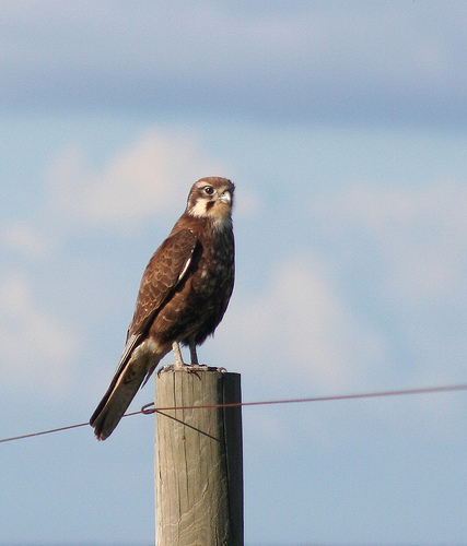 Brown Falcon on fence at Wyndham Vale