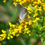 Anise-scented goldenrod is lovely, but hard to find