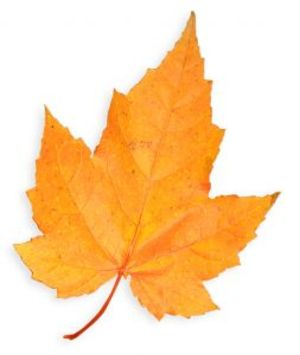 Golden_maple_leaf
