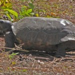 Gopher Tortoise threatened by habitat loss