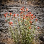 Linear-leafed Paintbrush