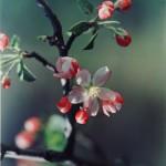 Jeannette Klute, Apple Blossom, around 1950.