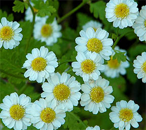 Feverfew Pictures