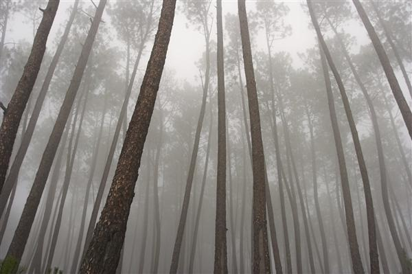 Mysterious Pine Woods