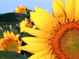 sunflower Natural Home Remedies