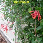 The coral honeysuckle is best when growing on a latice or trellis