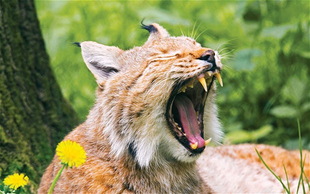 Many believe released lynx and panther are roaming the British countryside