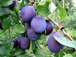 рецепт компота из груш, персиков и слив