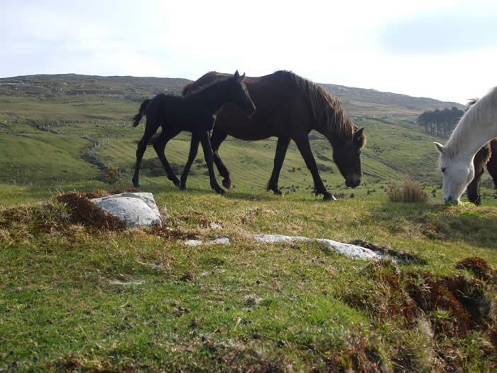 connemara ponies at dan o hara farm clifden ireland