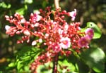 Averrhoa carambola   - Inflorescence with flowers and buds