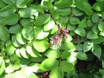 Averrhoa carambola   - Flowering brahcn