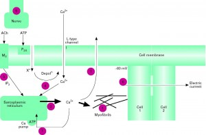 Factors involved in contractile activation and relaxation of detrusor smooth muscle schematic