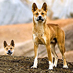 Australia's Changing View of the Dingo