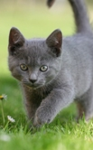 picture of cute grey kitten in grass