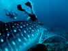 Photo: Divers with whale shark in Ningaloo Reef in Australia