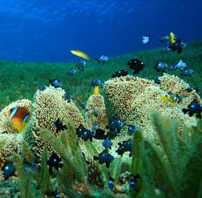 Sponges and other animals provide shelter for small reef fishes in seagrass meadows