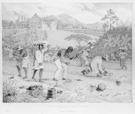Sugar Cane Cultivation, Trinidad, ca.1830s
