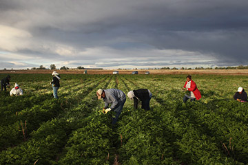 Mexican migrant workers harvest organic parsley at Grant Family Farms in Wellington, Colorado