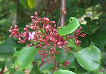 Averrhoa carambola   - Flowering branch