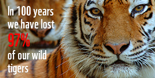 Find out more about tigers, one of the mos iconic species of our planet.
