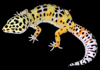 caring for leopard geckos