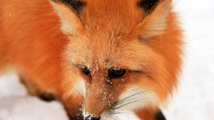 Fox at Boreal Forest, Canada. This im... [Photo of the day - 21 JULY 2012]