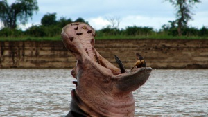 Luangwa, Zambia: A Hippo shows its te... [Photo of the day - 20 JULY 2012]