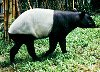 Asian tapir on the Tapir Gallery Web Site - click to learn more about Asian (or Malayan) tapirs