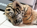 A picture of a live, drugged tiger cub found among stuffed animals Sunday in luggage at Bangkok's Suvarnabhumi International Airport