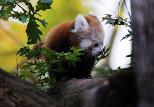 Red Pandas at Dresden Zoo