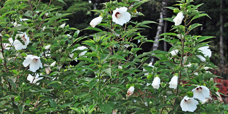 crimsoneyed rose mallow plant covered in blooms