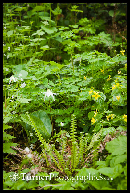 Oregon Fawn Lily, Yellow Violets, young Deer Fern