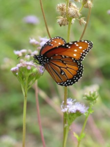 Viceroy on a fall wildflower, Lady Bird Johnson Wildflower Center, Texas