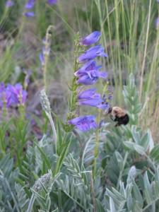 A bumblebee flies toward a Rocky Mountain penstemon flower stalk.