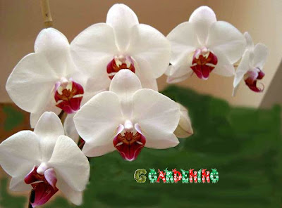 orchids gardening care