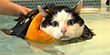 Obese cat swims to lose weight (GMA/Corbis Images)