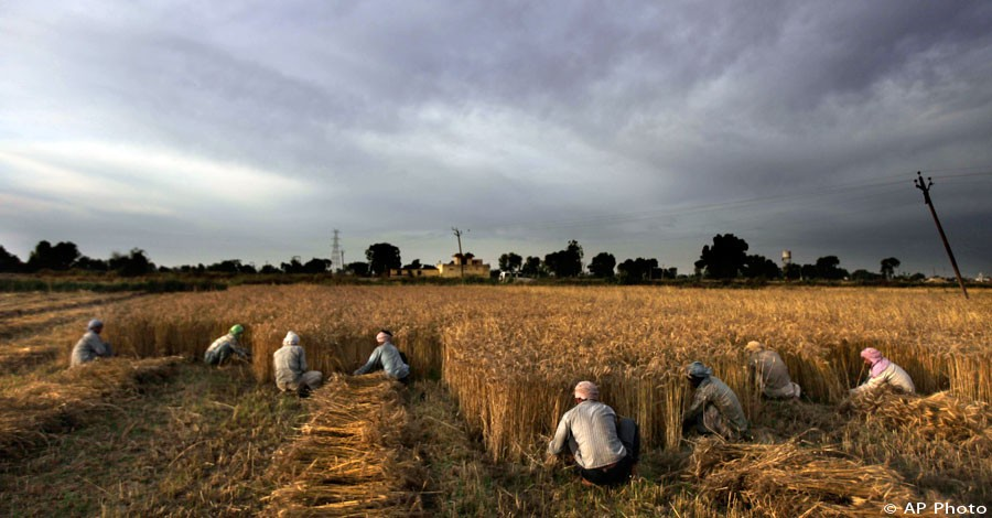 In this photo taken Tuesday, May 1, 2012, Indian farmers and migrant laborers harvest wheat crop on the outskirts of Amritsar, India. [AP File Photo]