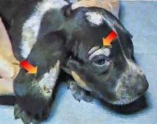Ringworm on dogs head