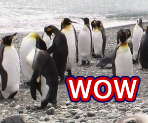 WOW: Prostitution Among Penguins