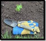 Garden Gloves And Tomato Plant