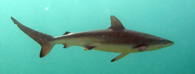 Most Dangerous Sharks - Dusky Shark