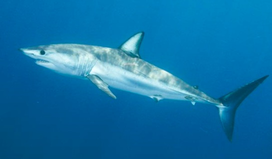 Most Dangerous Sharks - Short Fin Shark