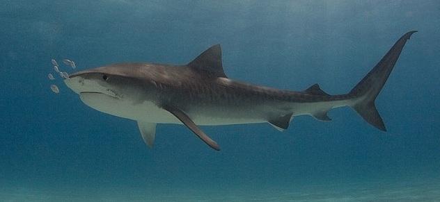 Most Dangerous Sharks - Tiger Shark