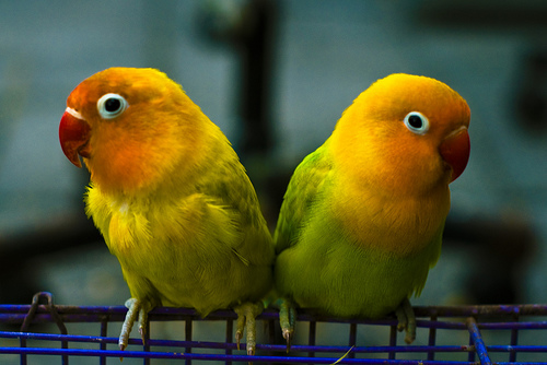 pet love birds