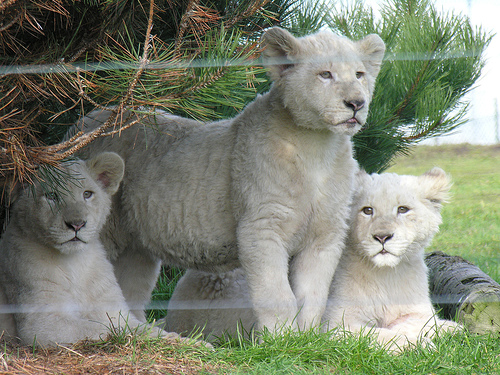 pet white lion insurance
