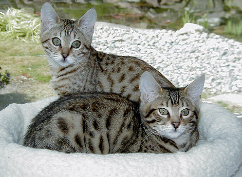 buying bengal cat