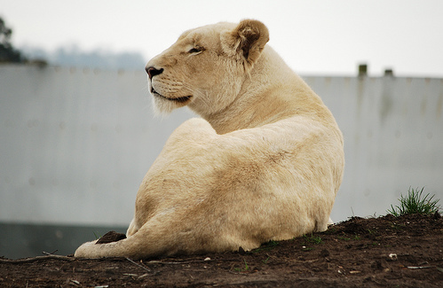 white lion origin